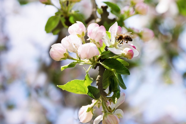 Lente apple bloemen bloeien boomtak op bokeh achtergrond