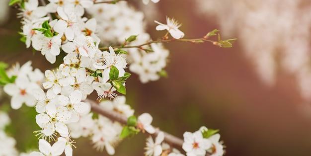 Lente banner, takken van bloeiende pruimenboom. fijne witte en roze bloemknoppen.