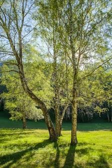 Lente berkenbos op een zonnige ochtend