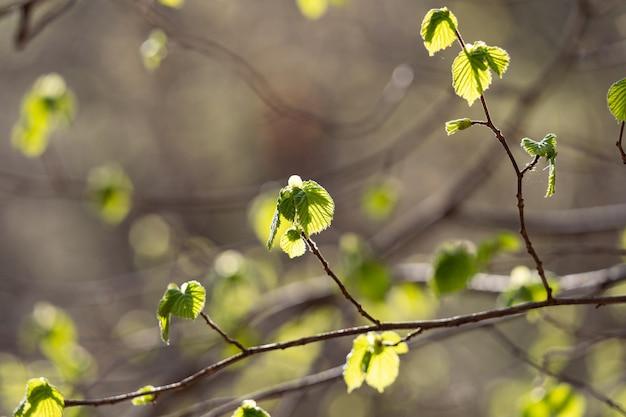 Lente bloeien van groene bladeren bladeren bloeien op een dunne tak close-up boomtak op een wazig achtergr...