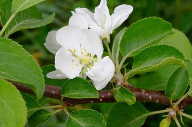 Lente bloeiende appelboom tak met witte bloemen met groene bladeren close-up. zachte focus achtergrond.