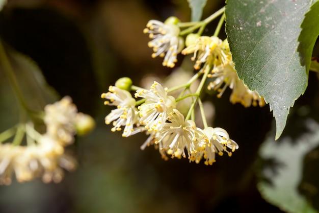 Lente bloeiende linde, een close-up