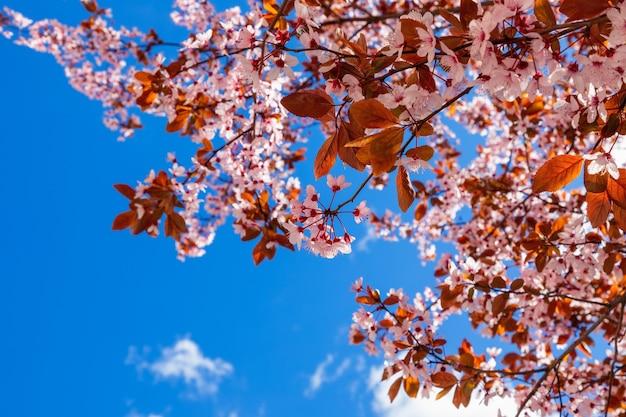 Lente bloeiende sakura tegen een helderblauwe lucht