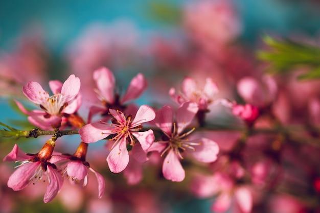 Lente bloeiende takken, roze bloemen op een blauw