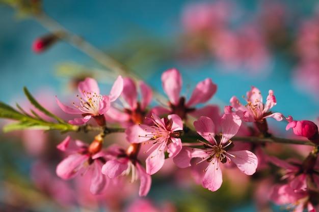 Lente bloeiende takken, roze bloemen op een blauwe achtergrond