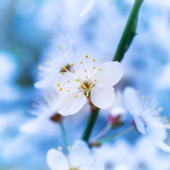 Lente bloeiende witte lentebloemen op een boom tegen zacht blauw