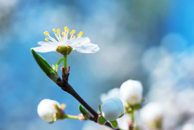 Lente bloeiende witte lentebloemen op een pruimenboom tegen zacht blauw