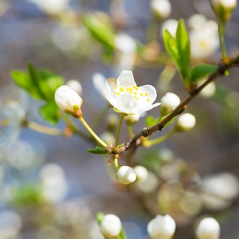 Lente bloeiende witte lentebloemen op een pruimenboom tegen zachte bloemen achtergrond