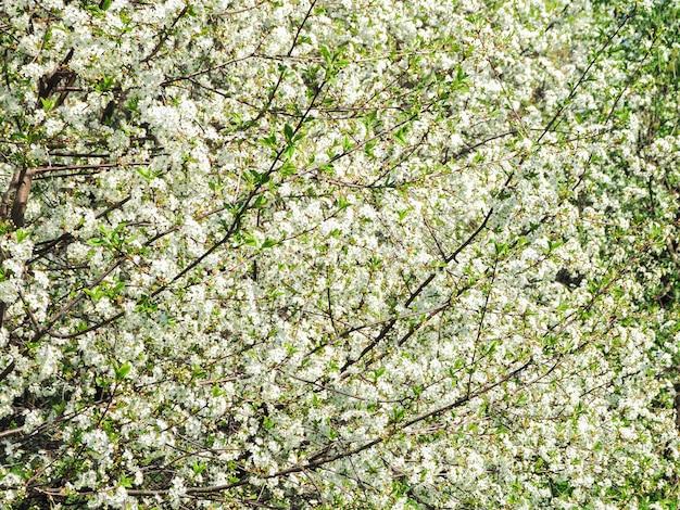 Lente bloem achtergrond. de eerste kers komt tot bloei in de lentezon.