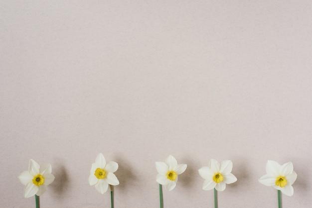 Lente bloemen. narcis op een beige achtergrond. een boeket witte narcissen. bloemen achtergrond. fijne vrouwendag, moederdag, valentijnsdag. platliggend, bovenaanzicht, kopieerruimte