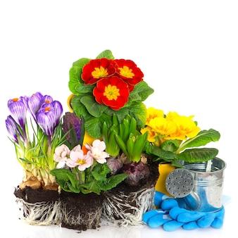 Lente bloemen primula, krokus en hyacint op witte achtergrond. lente tijd. tuinieren concept