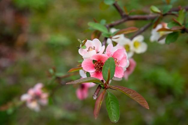 Lente bloesem achtergrond. prachtige natuurscène met bloeiende boom en zonnevlam. zonnige dag. lente bloemen. mooie boomgaard. samenvatting onscherpe achtergrond. lente