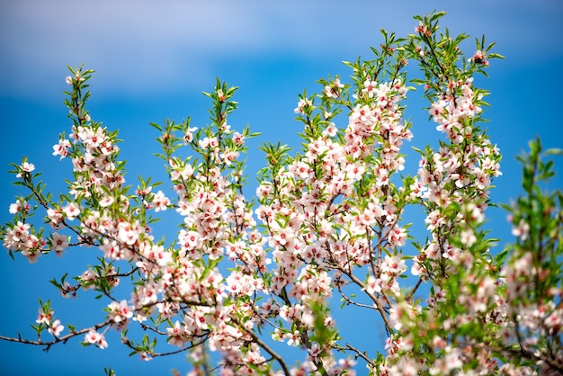 Lente bloesem achtergrond. prachtige natuurscène met bloeiende boom. zonnige dag. lente bloemen. mooie lente.