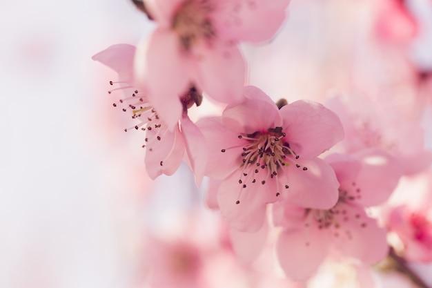 Lente boom met roze bloemen