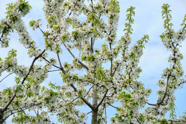 Lente boomtak van witte kersenbloesem