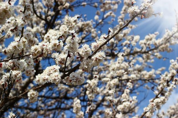 Lente boomtakken met bloesems op heldere blauwe hemelachtergrond.