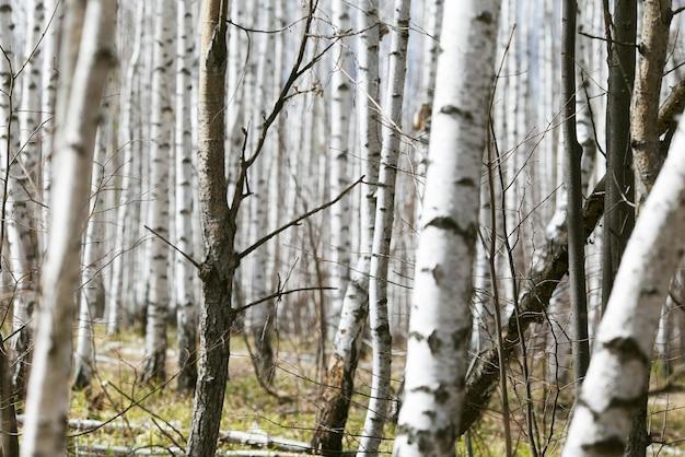 Lente bos met witte berken. rusland, maart.