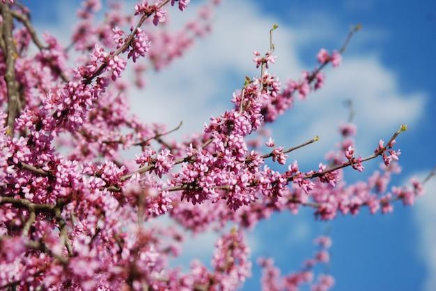 Lente cherry blossom sakura iflowers bos op de boom over blauwe hemel. walpaper.