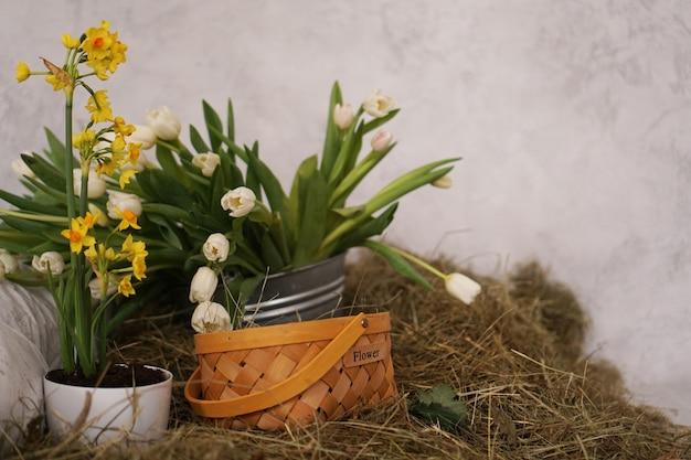 Lente foto. gele tulpen in een mand in het hooi. bloeminscriptie op de mand.