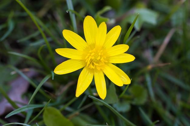 Lente gele bloemen op een groene achtergrond. het daglicht. detailopname