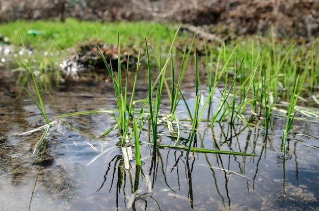 Lente gras in de buurt van de kreek.