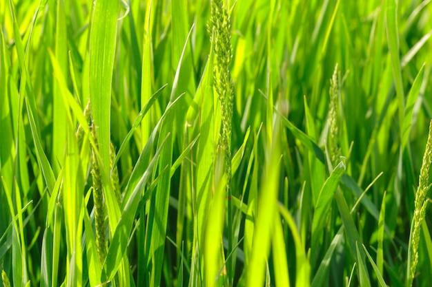 Lente gras veld