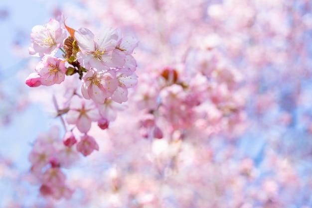 Lente kersenbloesem. mooie roze bloemenachtergrond.