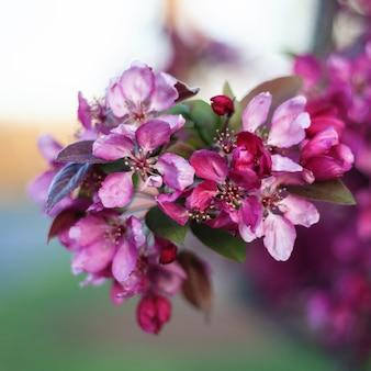 Lente kersenbloesem, roze bloemen.