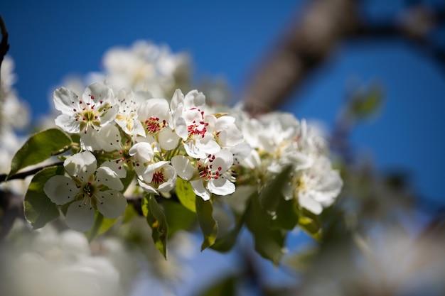 Lente kersenbloesems tegen de blauwe lucht een heerlijke geur van een lentetuin, tuinieren en culti...