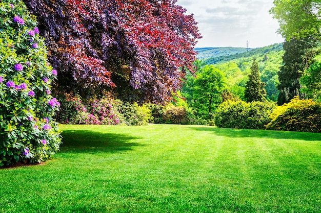 Lente park. stadspark met bloeiende rododendron, frisgroen gazon en koperen beukenboom. lente landschap achtergrond. schoonheid in de natuur