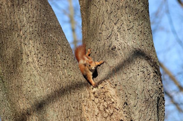 Lente rode eekhoorn op een boom