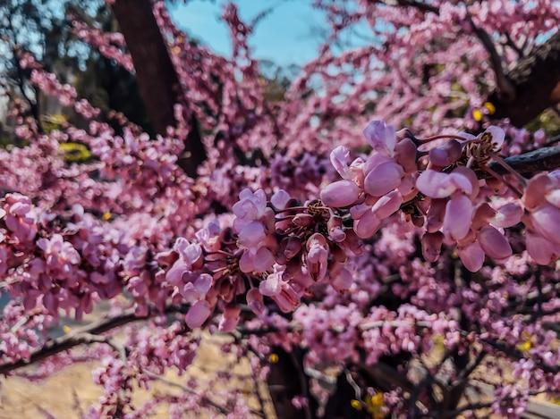 Lente sakura bloesem. mooie natuurlijke achtergrond. fotografie van bloemen.