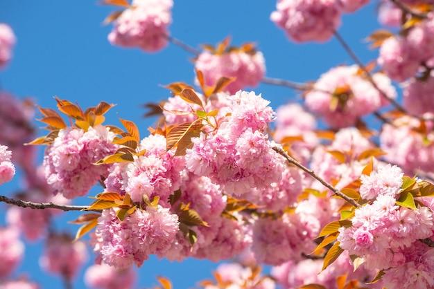 Lente sakura festival kersenbloesem bomen sakura lente bloemen achtergrond
