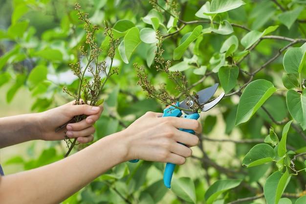 Lente seizoensgebonden tuinieren, dameshanden met snoeischaar die verwelkte bloemen op lila struik afsnijdt