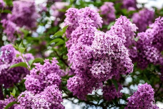 Lente tak van bloeiende lila.