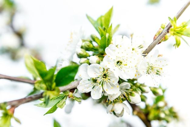 Lente takken van bloeiende boom. kersenboom in witte bloemen. vervagende achtergrond