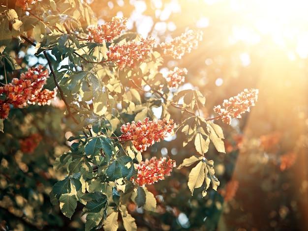 Lente tijd. bloesem van de paardenkastanjeboom