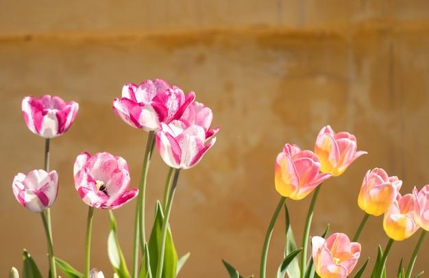 Lente tulp bloemen.