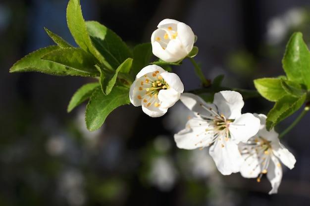 Lente verse, geurige bloem. gevoelige bloesem van prachtige kersenboom.