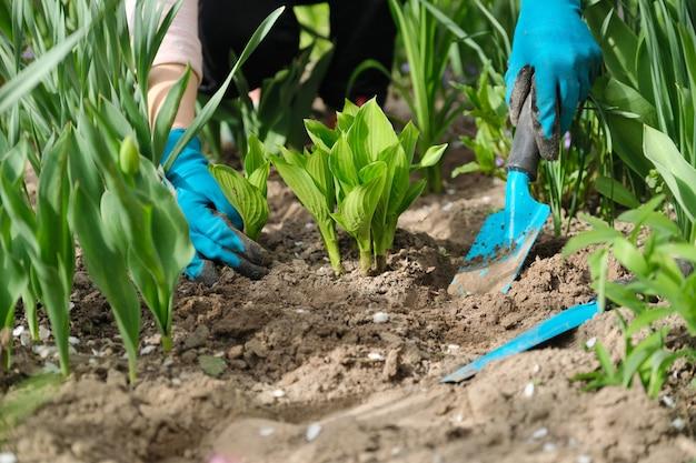 Lente werk in de tuin, vrouw handen in handschoenen met tuingereedschap, op de voorgrond jonge groene bush hosta.