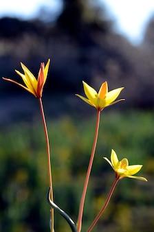 Lente wilde bloemen: tulipa sylvestris subsp. australis