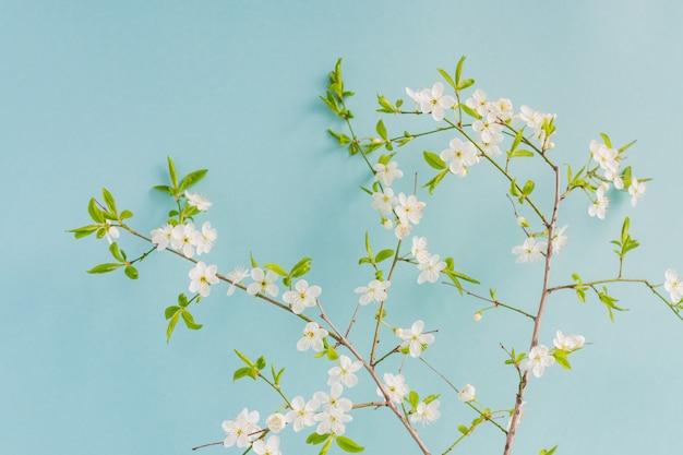 Lente witte kersenbloesem boom op pastel blauwe achtergrond