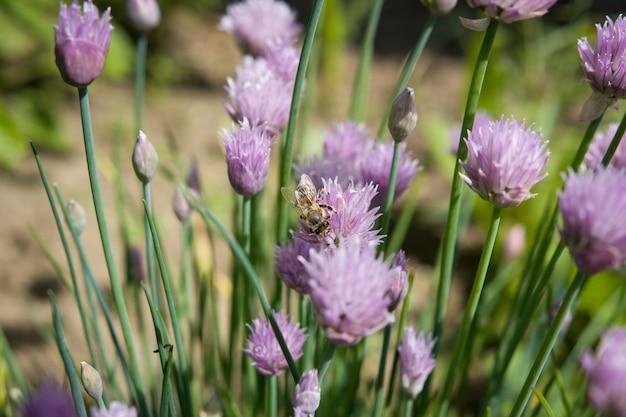 Lente / zomer paars / roze bloem met bij; bestuiven; ecologie