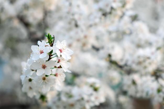 Lentebloei aan de boom. mooie witte bloemen.