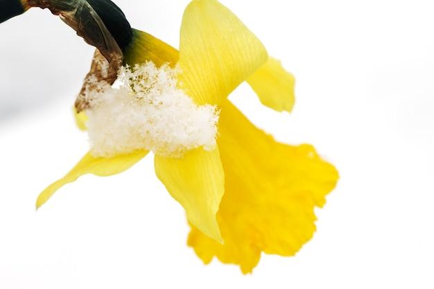 Lentebloemen groeien onder de sneeuw een compositie voor paaskaarten gele narcissen in de zon