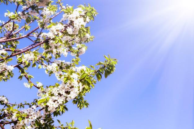 Lentebloemen van de kersenboom