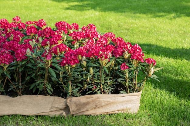 Lentebloemen van de rododendron soort. lentebloemen staan in een sierpot in een bloembed.