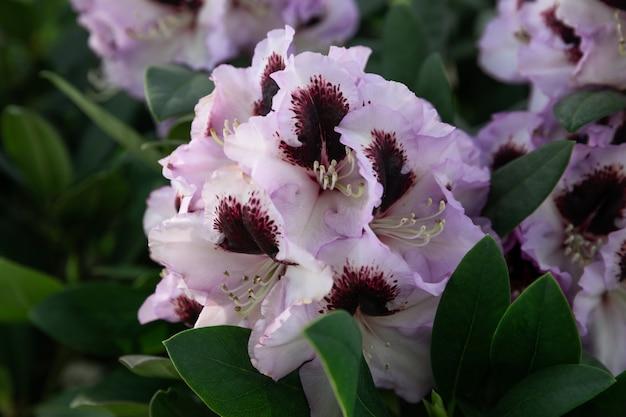 Lentebloemen van de rododendronsoort. mooie bloemen in de bloembedclose-up.