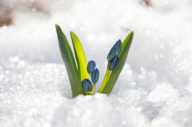 Lentebloemen van sneeuwklokje met waterdruppels