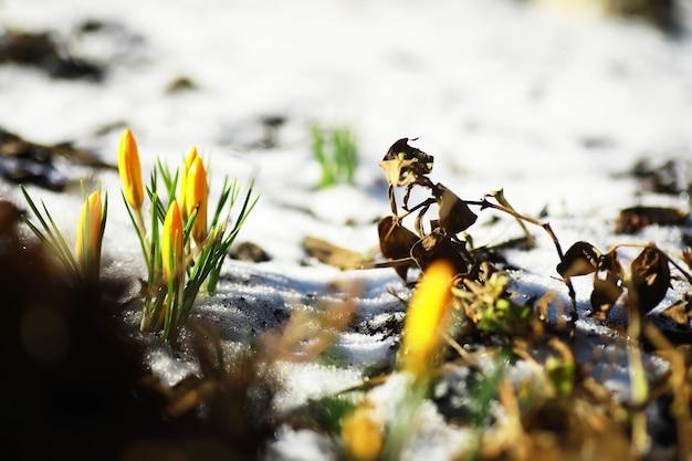 Lentebloemen, witte krokus sneeuwklokjes zonnestralen. witte en gele krokussen in het land in het voorjaar. verse vrolijke planten bloeiden. de jonge spruiten.